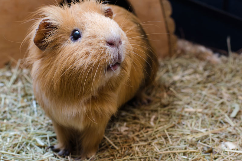 National Pet Month Guinea Pig